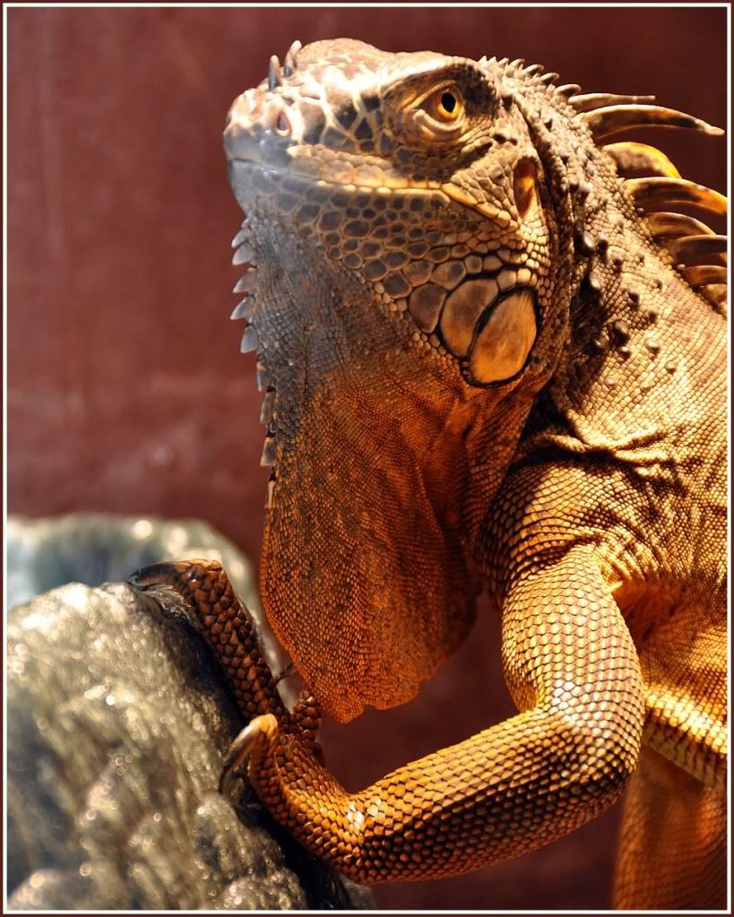 Iguana iguana rhinolopha
