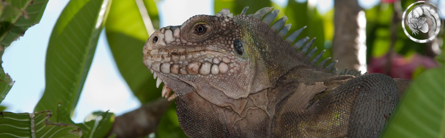 Dutch Iguana Group Foundation