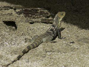 Ctenosaura-melanosterna op het strand van Cayos-Cochinos