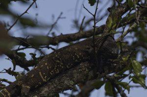 Heloderma-horridum-charlesbogerti-in-een-boom-van-de-Motagua-vallei, El-arenal, Guatemala