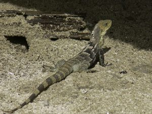 Ctenosaura melanosterna Cayos Cochinos