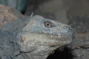 Ctenosaura melanosterna man