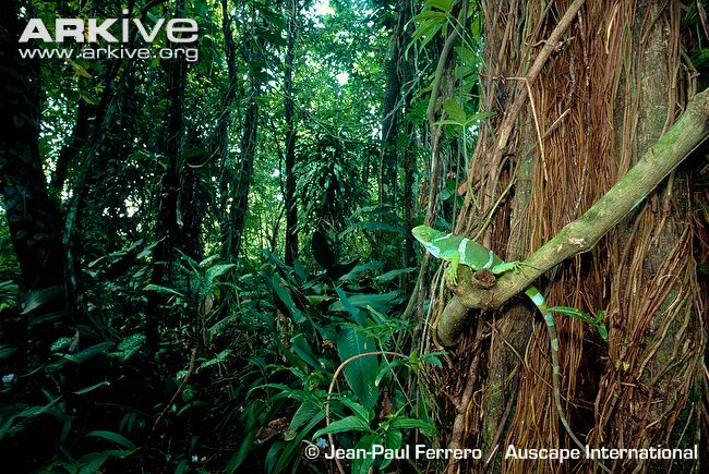Male-Fiji-banded-iguana-in-habitat